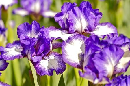 iridaceae: Iris Dark Rings - Standard Dwarf Bearded iris. Iridaceae > Iris Family > Iris Dark Rings. Blue-Violet Iris Flowers.  Stock Photo