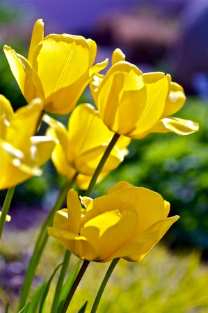 often: Tulip (Genus Tulipa) - Perennial, Bulbous Plant. Yellow Tulips Vertical Photo. Tulips Are Often Associated with The Netherlands. Botanic Photo Collection.
