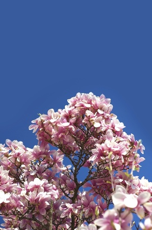 Blooming Magnolia Branches. Magnolia X Soulangeana (Saucer Magnolia) is a Hybrid Plant in the Genus Magnolia and Family Magnoliaceae. Clear Blue Sky. photo