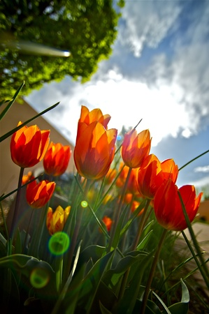Red Tulips Garden. Tulips in the Sun. Wide Angle Creative Photo Vertical Cloudy Sunny Spring Day. photo