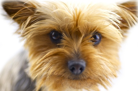 silky terrier: Cute Dog - One Year Old Australian Silky Terrier. White Background