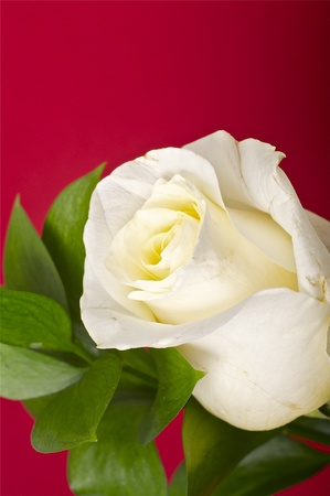 The Rose - Dark Burgundy Background. White Rose and Green Leafs. Floral Theme.