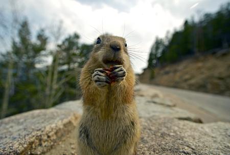 ardilla: Colorado Chipmunk. Fotografía en primer plano de la pequeña ardilla Comer Algunos frutos secos ..