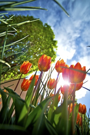 vertical garden: To the Sun - Red Tulips Wide Angle Photo  Summer in the Garden