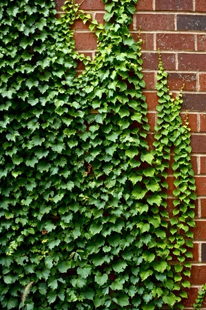 ivy wall: Ivy on the Wall Stock Photo