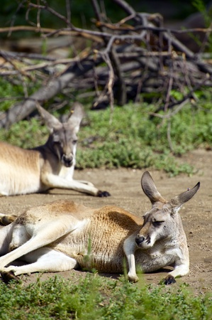 Two Kangaroos Resting on the Ground - Vertical Photography