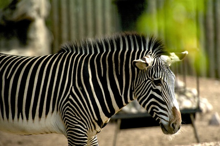 int: Young Zebra int he City Zoo