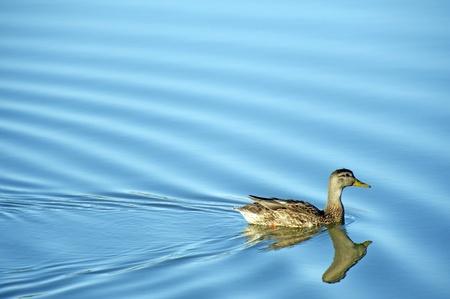 anseriformes: Mallard Duck on Lake  Calm Small Lake Water  Wildlife Photo Collection