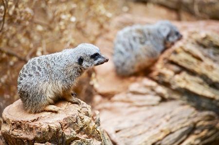 diurnal: Two Meerkats on the Desert Rocks  African Mammals