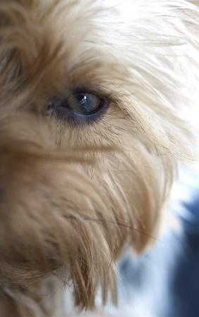 silky terrier: Cane occhi e capelli lunghi Ritratto Silky Terrier - Closeup Foto Eye verticale Archivio Fotografico