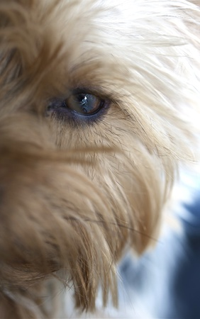silky terrier: Dog Eye and Long Hairs  Silky Terrier Portrait - Eye Closeup  Vertical Photo