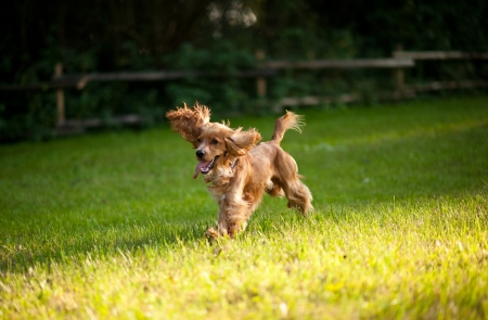 dog running: Running Dog - English Cocker Spaniel in the Park. Stock Photo