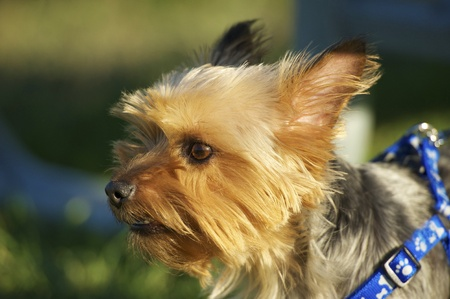 silky terrier: Australian Silky Terrier in Park  Closeup Photography  Australian Silky Terrier Horizontal Photo  Stock Photo