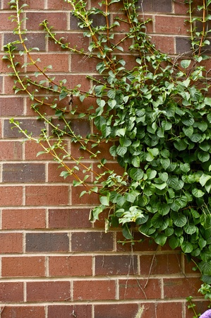 ivy wall: Wild Ivy on the Wall