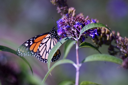 Summer Butterfly Looking For Plants Nectar  Spring Nature Photo  photo