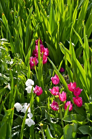 Tulipes roses Meadow-�t� Meadow Photographie Nature. Banque d'images - 12787677