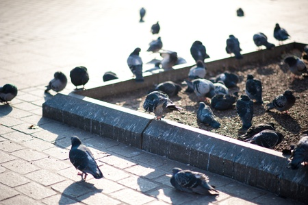 constitute: Pigeons on the Ground  Urban Pigeons  Pigeons and Doves Constitute the Bird Family Columbidae