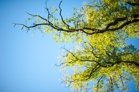 nature photography: Spring Trees on Clear Blue Sky. Back to Life After Winter Time. Horizontal Nature Photography.