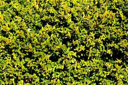 Hedge Achtergrond - Green Fence Natuurlijke
