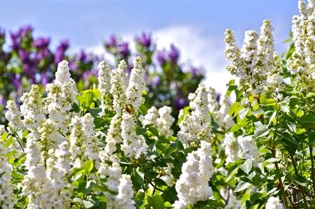 White Blossom Syringa und Violet Syringa im Back Blossom Spring Standard-Bild - 12787643