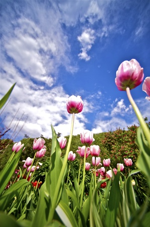pinky: Pinky Tulips Wide Angle Photography  Summer Sky Above the Garden  Stock Photo