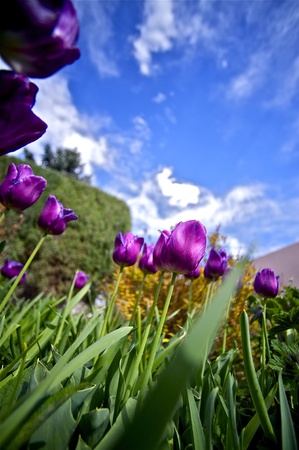 Purple-Violet Blossom Tulips Vertical Wide Angle Photography  Summer in the Garden  Flowers Photo Collection  photo