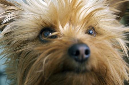 silky terrier: Silky Terrier Portrait. 3 Anni Closeup Australian Terrier Silky