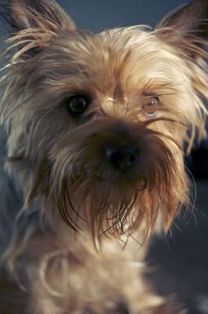 silky terrier: Bella 3 Years Old Australian Silky Terrier Portrait Collection Animali Foto