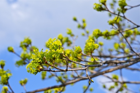 spring bud: Spring Branches - Green Buds on the Tree. SPring Theme