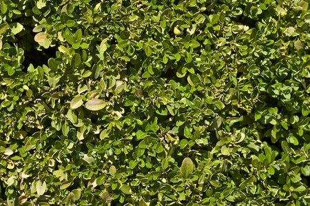 Hedge Wall - Green Leaves Wall Background. Nature Photo Collection.  photo