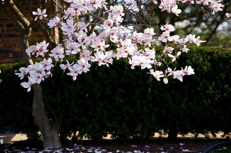 magnolia soulangeana: Magnolia Tree - Magnolia X Soulangeana.  Hybrid Plant in the Genus Magnolia and Family Magnoliaceae. Horizontal Photography Stock Photo