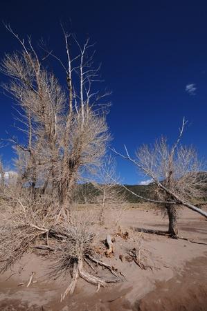 arboles secos: Árboles muertos en el Great Sand Dunes National Park Colorado, EE.UU.. Paisaje de arena Foto de archivo