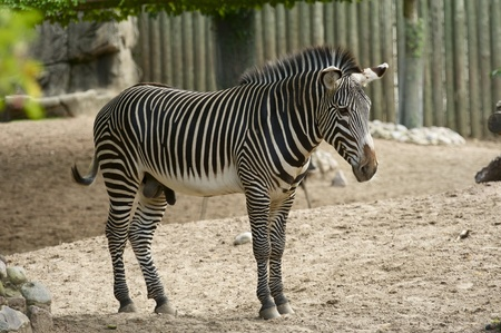 distinctive: Zebra is African Equid  Horse Family  Best Known For Their Distinctive Black and White Stripes. Zebra in ZOO