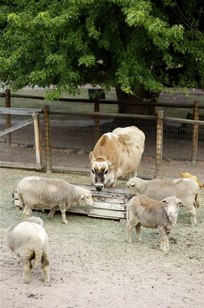 Small Farm with Farm Animals like Cow, Chicken and Sheep. Vertical Photography. photo