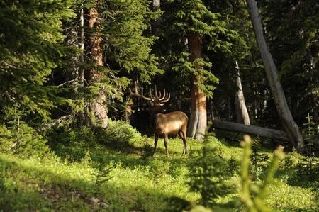 콜로라도 사슴입니다. 콜로라도 야생의 삶 미국