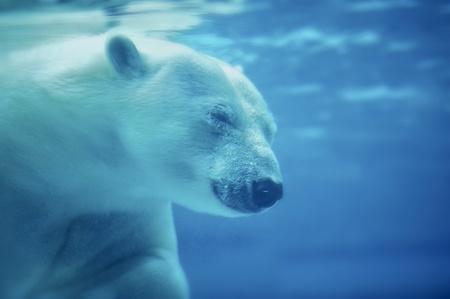 The Polar Bear Ursus Maritimus Under the Water. Head shot. Horizontal Photo. POlar Bear is the Worlds Largest Land Carnivore.