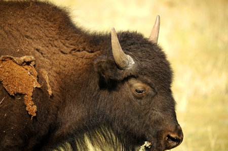 Wild American Buffalo. North American species of bison, also commonly known as the American Buffalo Stock Photo - 13226994