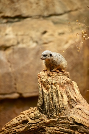 diurnal: The Suricate or Meerkat is a Small Diurnal Herpestid  Mongoose   Vertical Photography of Suricate