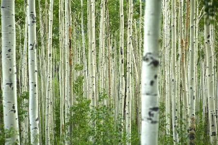 colorado: Aspen Forest - Aspen Trees. Colorado USA Stock Photo
