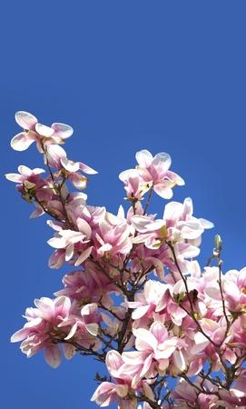 Floraison Branches Magnolia sur le ciel bleu clair. Collection de photos nature. Banque d'images - 13239185