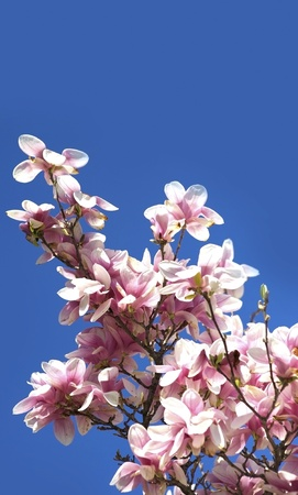 flowering in plants: Flowering Magnolia Branches on Clear Blue Sky. Nature Photo Collection.