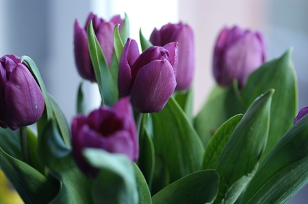cut flowers: Fresh Cut Violet Tulips Flowers Stock Photo