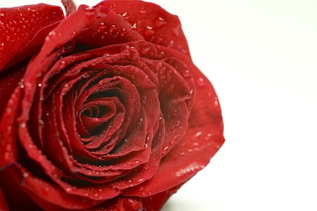 Red Rose Macro Photo. Fresh Rose in Dew. Separated Rose Flower. White Background