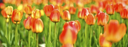 tulipa: Tulips Panoramic Photo  The Tulip is a Perennial, Bulbous Plant with Showy Flowers in the Genus Tulipa, Which Comprises 109 Species and Belongs to the Family Liliaceae  Flowers Photo Collection  Stock Photo