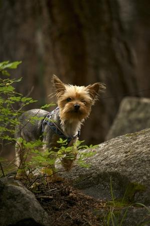 silky terrier: Cane in Silky Terrier piccolo bosco sulla Montagna Foresta Leash profonda