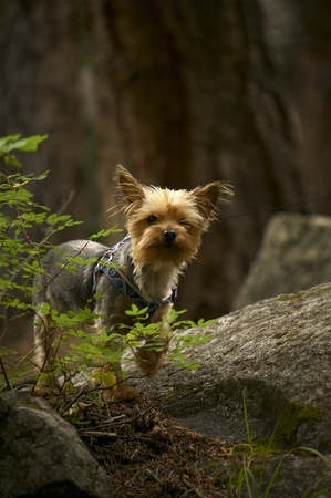 silky terrier: Dog in Forest  Small Silky Terrier on Leash  Deep Mountain Forest