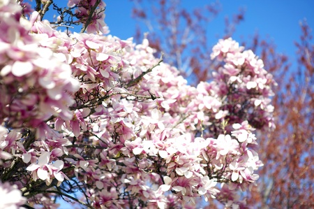 botanist: Magnolia Tree Blossom  Magnolia is a Large Genus Flowering Plant Species in the Subfamily Magnolioideae of the Family Magnoliaceae  It is Named After French Botanist Magnol Pierre  Blooming Magnolia Tree on Blue Sky