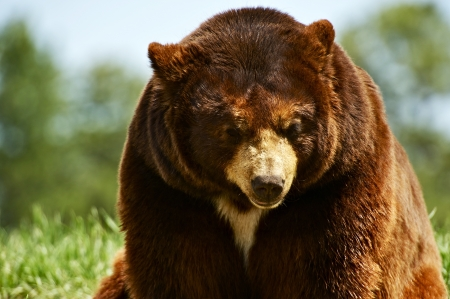 carnivora: North American Brown Bear Seating in a Middle of the Meadow. Wildlife Photo Collection. Brown Bear Closeup Horizontal Photography