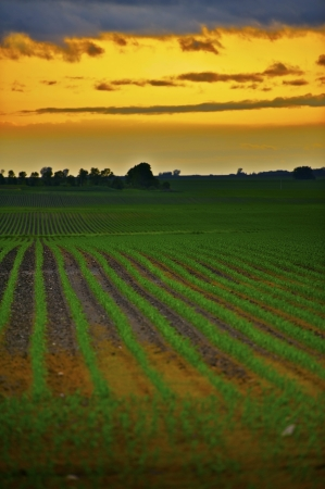 agro: Corn Fields in Minnesota, USA. Corn Fields and the Sunset. Agriculture Theme.
