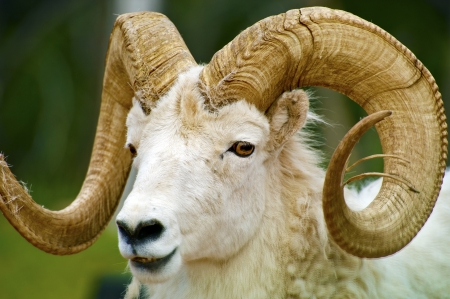 Mouflon de Dall Gros plan / Le mouflon de Dall, Ovis Dalli, est une espèce de mouton indigène Nord-Ouest de l'Amérique du Nord inclus le Dakota du Sud, le Wyoming, le Colorado, l'Idaho, du Montana. Dalls moutons grandes cornes